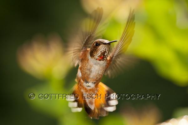 Rufous Hummingbird (Selasphorus rufus),