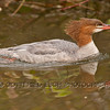 Common Merganser (Mergus merganser), female,