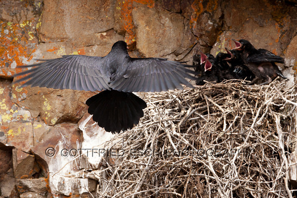 Common Raven (Corvus corax)<br /> Yellowstone National Park