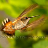 Rufous Hummingbird (Selasphorus rufus), female