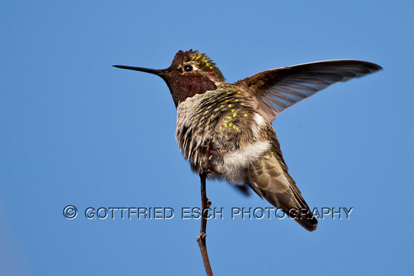 Annas Hummingbird (Calypta anna)