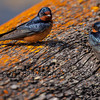 Barn Swallows (Hirundo rustica)