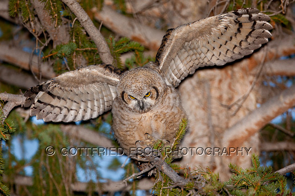 Great Horned Owl (Bubo virginianus), juvenile