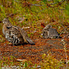 Spruce Grouse (Falcipennis canadensis), femals