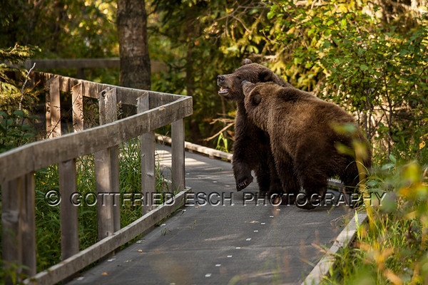 These young Brown bears liked to use the angler's board walk regularly.