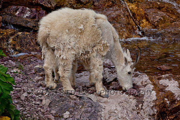 mountain goat, immature, young