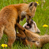 Red foxes (Vulpes vulpes)