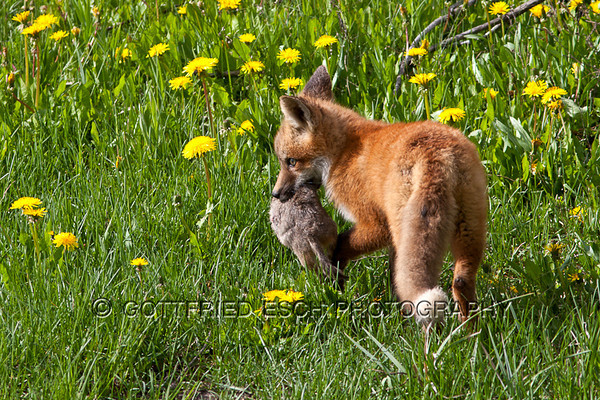 Red fox (Vulpes vulpes)<br /> eating ground squirrels