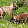 Red foxes (Vulpes vulpes)<br /> provinding ground squirrels for its young