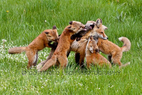 Red fox family (Vulpes vulpes)