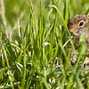 Ground squirrel (Spermophilus beecheyi)