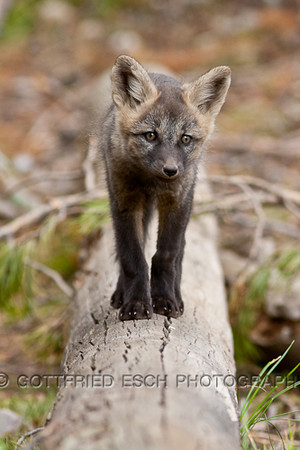 Coal fox (Vulpes vulpes)