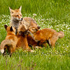 Red fox family (Vulpes vulpes)