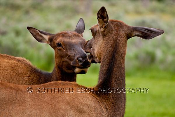 Elk or Wapiti (Cervus canadensis)