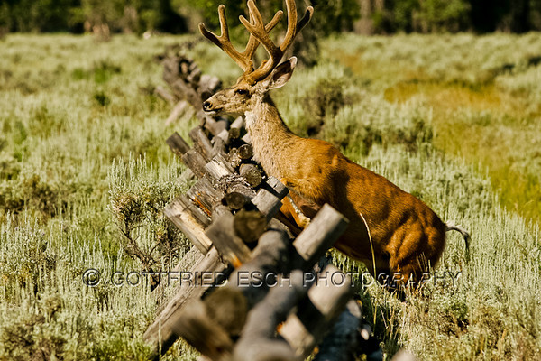 Mule deer buck is starting to jump over the fence.(Odocoileus hemionus)