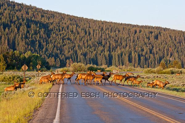 Elk or Wapiti (Cervus canadensis) herd