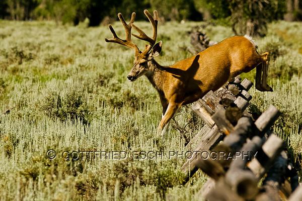 Mule deer buck (Odocoileus hemionus), landing on the other side of the fence.