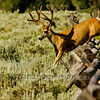 Mule deer buck (Odocoileus hemionus), landing on the other side of the fence.