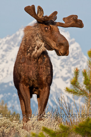 Moose (Alces alces)<br /> in front of the Grand Teton Peak