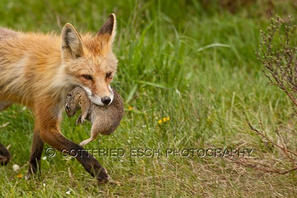 Red fox (Vulpes vulpes) with Ground squirrel (Spermophilus beecheyi)