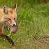 Red fox (Vulpes vulpes) with Ground squirrel (Spermophilus beecheyi)