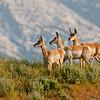 Pronghorn antilopes (Antilocapra americana)