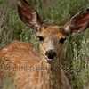 Mule deer, female (Odocoileus hemionus)