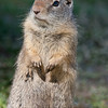 Ground squirrel (Spermophilus beecheyi)