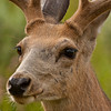Mule deer buck, portrait,(Odocoileus hemionus)