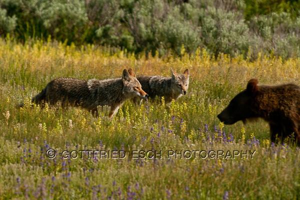 Coyotes (Canis latrans) and Grizzly Bear (Ursus arctos horribilis)