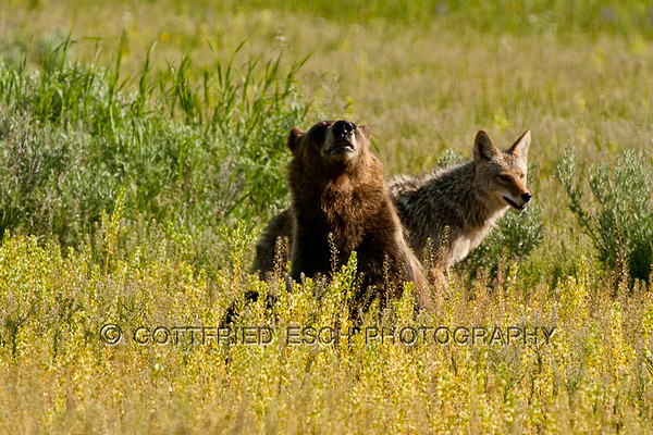 Coyote (Canis latrans) and Grizzly Bear (Ursus arctos horribilis)