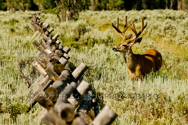Mule deer buck(Odocoileus hemionus) just before he is jumping over the fence.