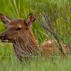 Elk or Wapiti calf (Cervus canadensis)