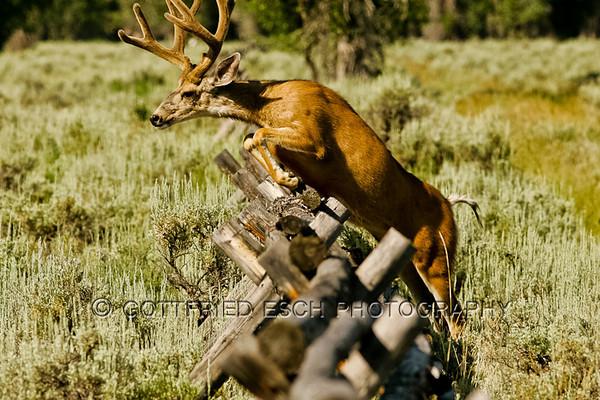 Mule deer buck (Odocoileus hemionus), jumping over the fence.