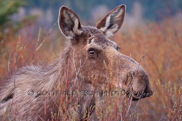 Moose (Alces alces), female