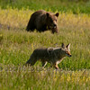 Coyote (Canis latrans) and Grizzly Bear (Ursus arctos horribilis)