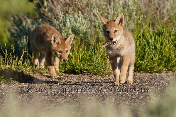 Coyotes (Canis latrans)