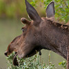 Moose (Alces alces), female