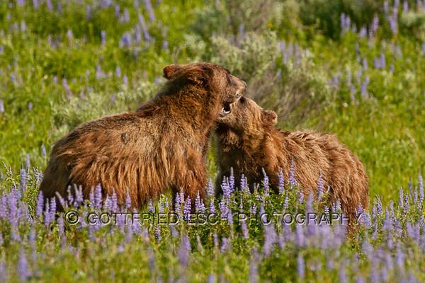 Grizzly Bears (Ursus arctos horribilis)