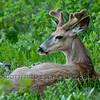Black-tailed deer (Odocoileus hemionus)