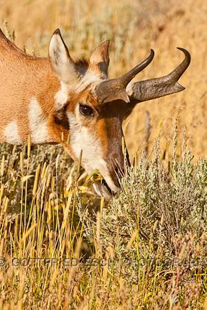 Pronghorn antelope (Antilocapra americana), Buck
