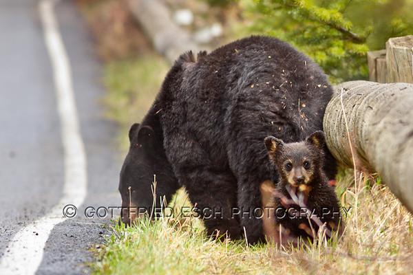 Black Bears (Ursus americanus)
