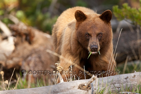 Cinamon-colored Black Bear (Ursus americanus)