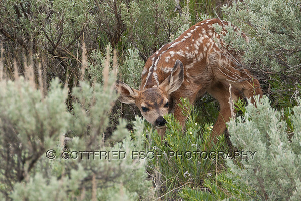 mule deer calf