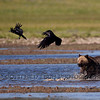 Grizzly Bear (Ursus arctos horribilis) chasing Common Raven (Corvus corax)
