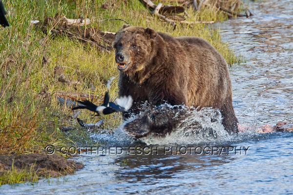 Grizzly Bear (Ursus arctos horribilis) chasing Common Raven (Corvus corax)