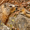Yellow-bellied marmot (Marmota flaviventris) and golden mantled ground squirrel