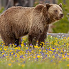 grizzly flower meadow