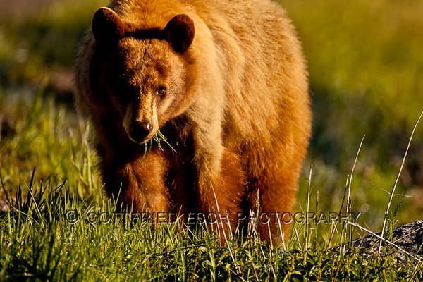 Cinamon-colored Black Bear (Ursus americanus)
