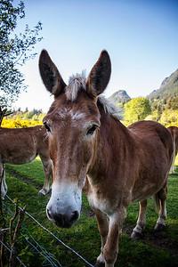 Brown Mule Closeup Portrait